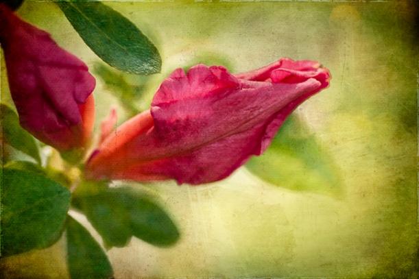 pink azalea bud