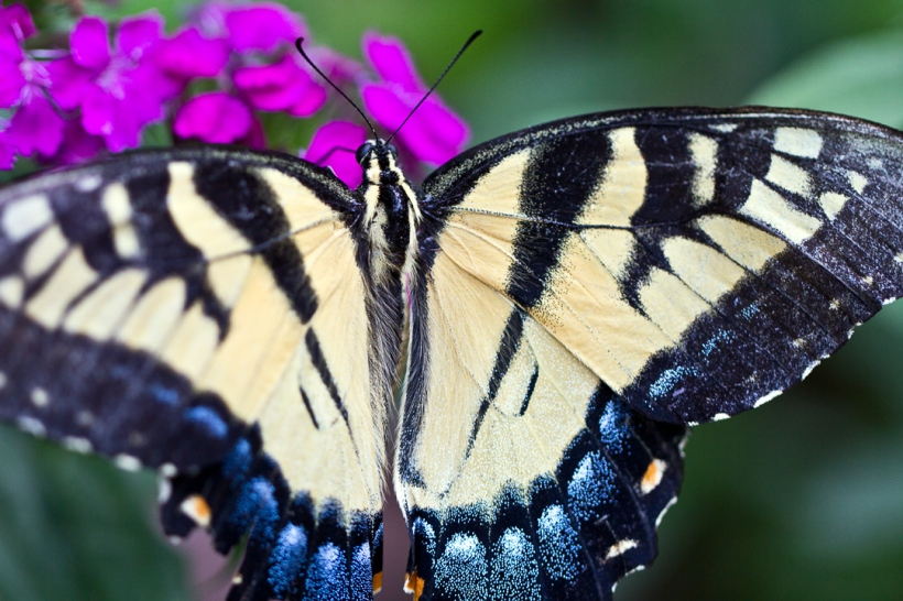 male Eastern Tiger Swallowtail