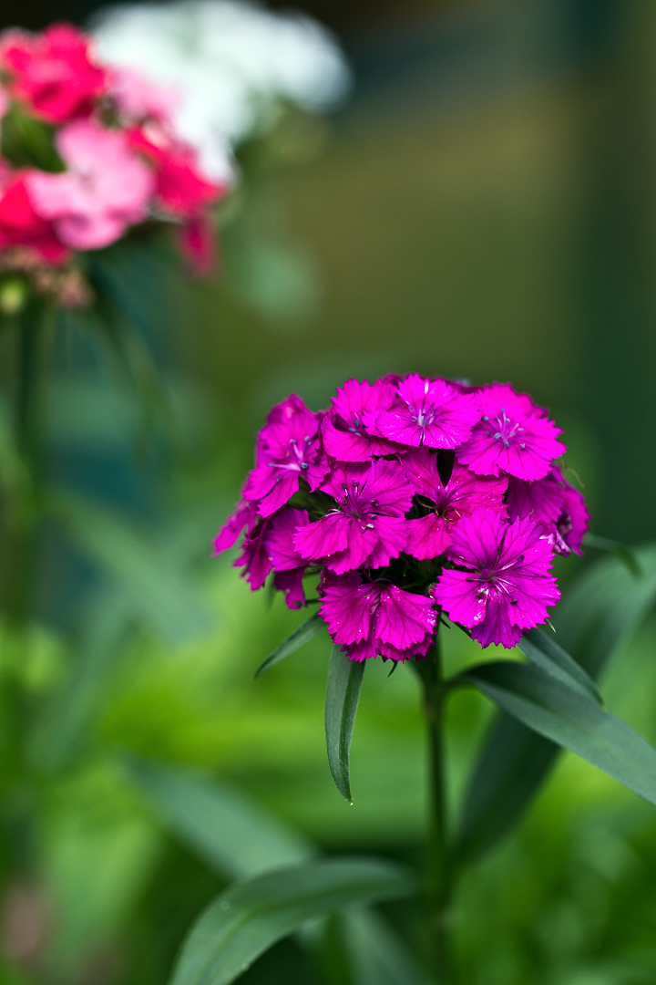 sweet william blossoms