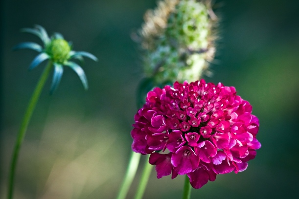 Grandmother's Pincushion blossom