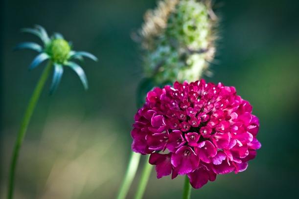 Grandmother's Pincushion blossom
