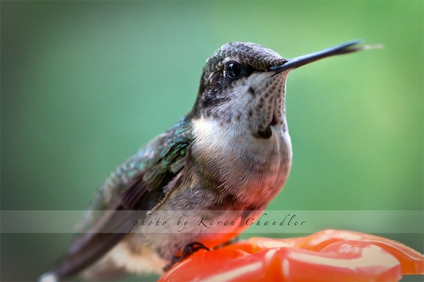 male juvenile hummingbird