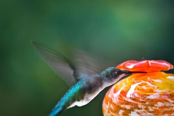 ruby-throated hummingbird near feeder