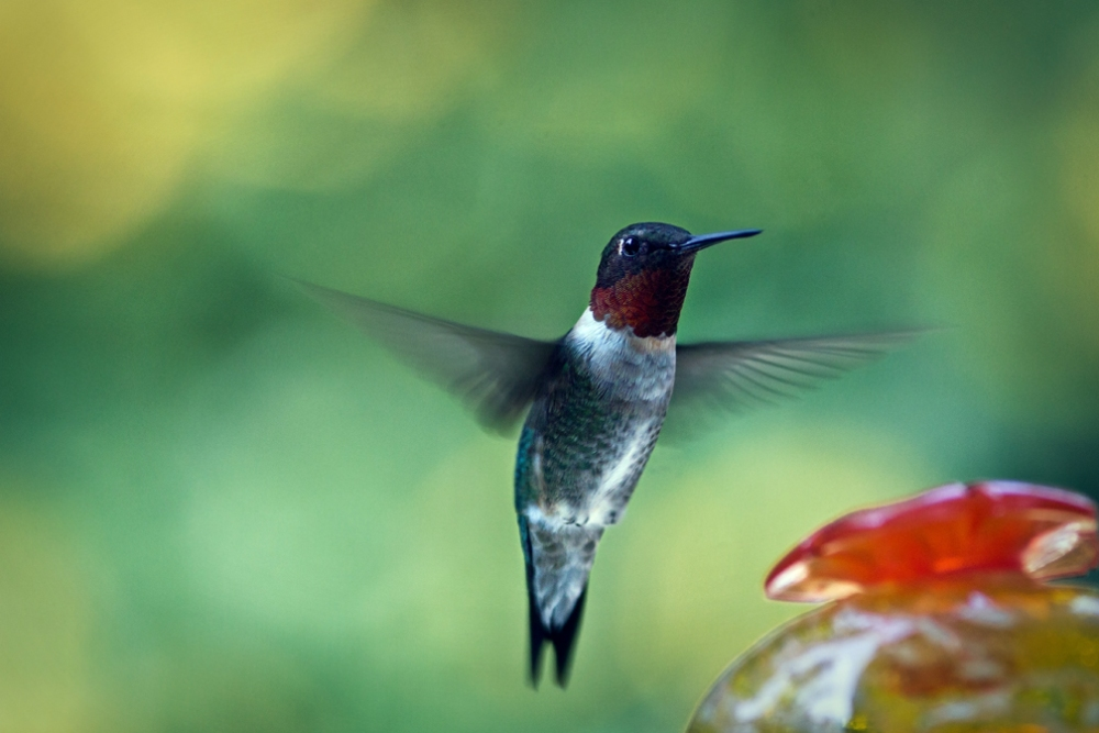 Male Ruby-throated Hummingbird (2/2)