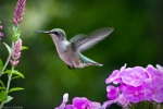 ruby-throated hummingbird in flight
