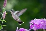ruby-throated hummingbird in flight