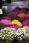 purple, yellow, orange, white mums