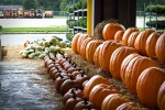 orange pumpkins in rows