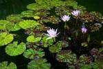 water lilies at duke gardens