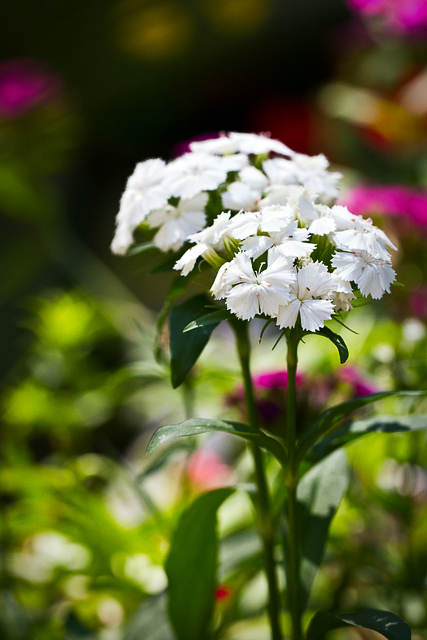 white sweet william blossom