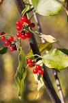red berries at kennesaw mountain