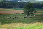 holsteins in ohio field