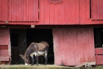 antique ohio red barn and donkey