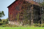 old ohio barn covered in red ivy