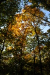yellow leaves at kennesaw mountain