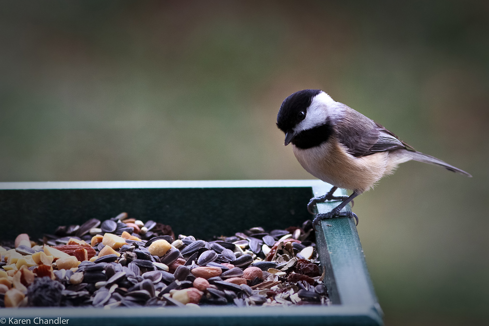 carolina chickadee bird house plans