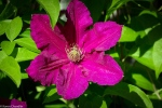Clematis blossom