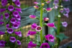 Purple Foxglove plants