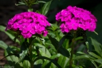 purple sweet william flowers