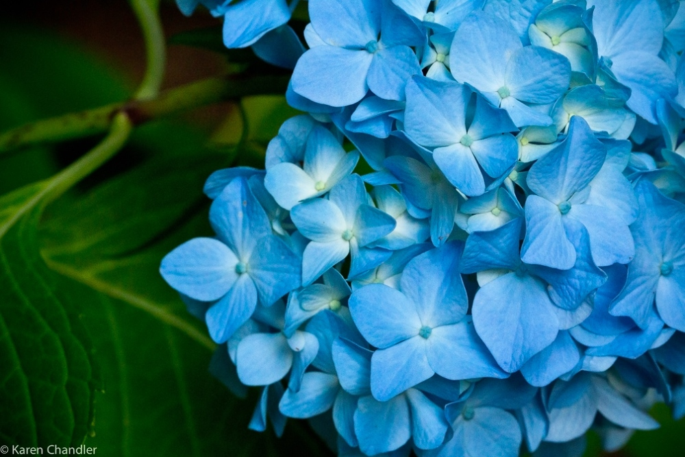 The Coolest Garden Colors: Hydrangea (6/6)