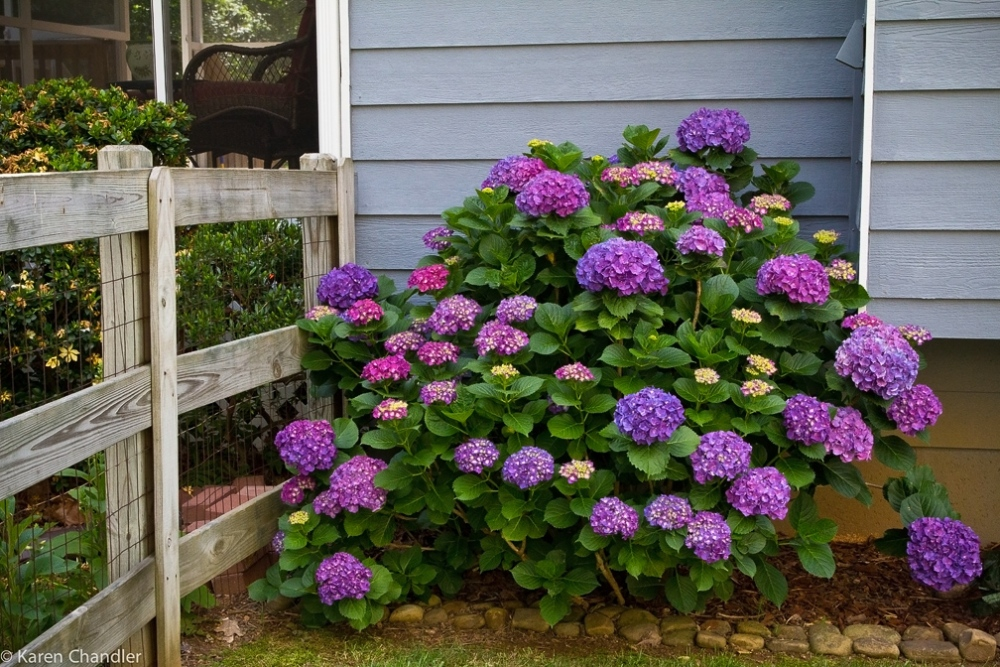 The Coolest Garden Colors: Hydrangea (2/6)