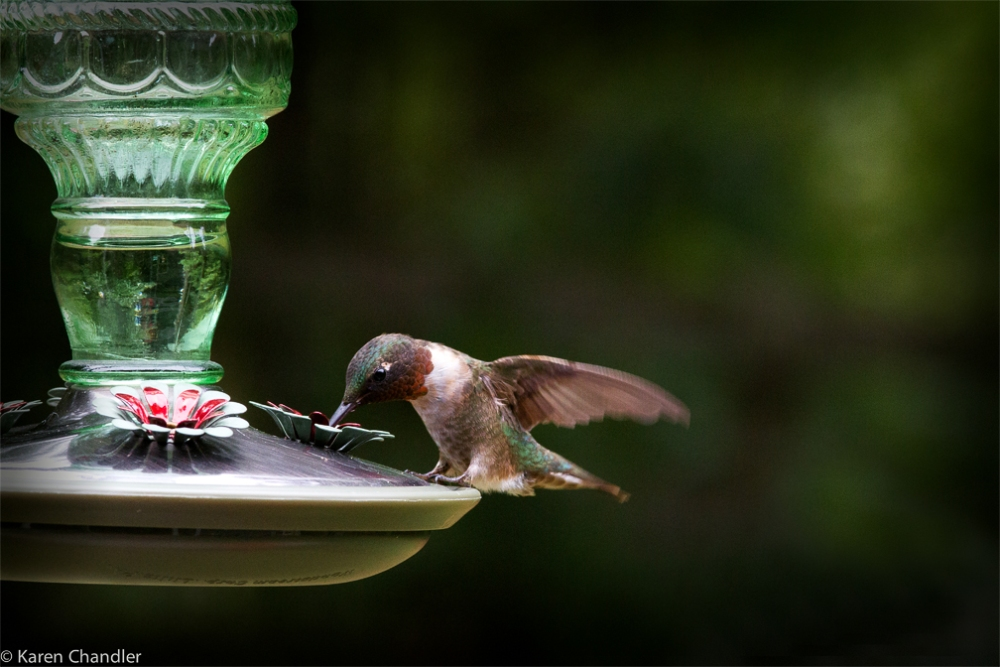 Photographing a Male Ruby-throated Hummingbird: A Simple Strategy (3/4)