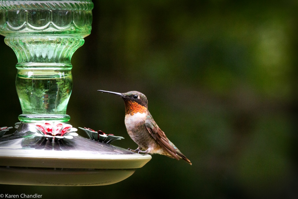 Photographing a Male Ruby-throated Hummingbird: A Simple Strategy (4/4)