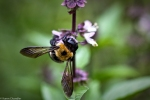 carpenter bee on basil flower