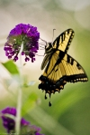 male tiger swallowtail on butterfly bush