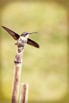 ruby-throated hummingbird on bamboo stake