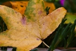 yellow maple leaf