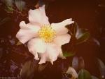 Fall White Camellia