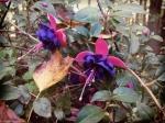 Fall Fuchsia